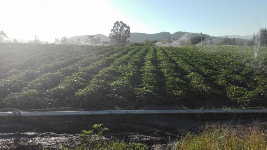 El camote surge como una opción cada vez más sólida en la Región del Maule