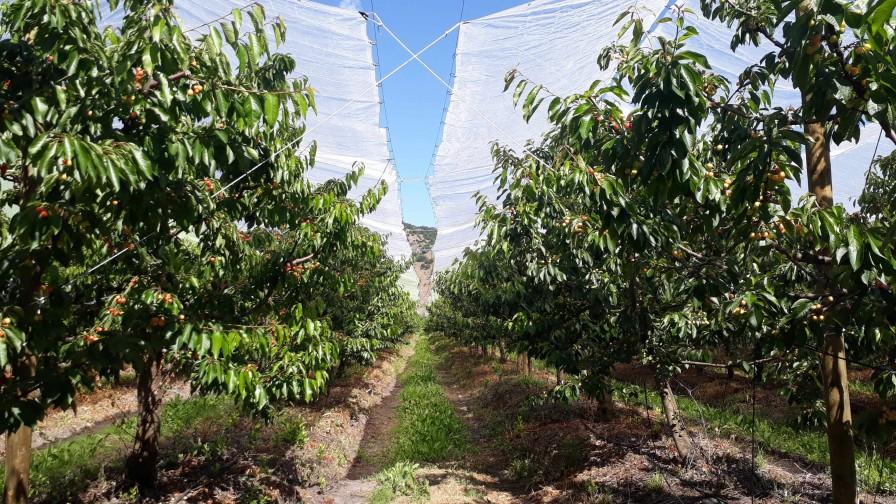 Efectos del uso de cobertores plásticos sobre la productividad y calidad en un huerto de cerezos