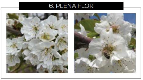 Guía para reconocer los estados fenológicos del cerezo dulce en Chile