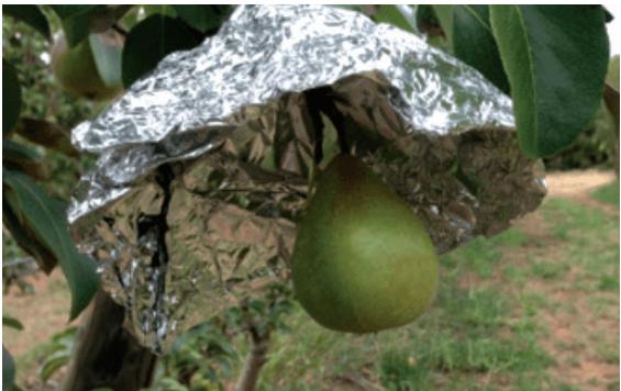 Cómo hacer que las peras se ruboricen: el efecto de la luz
