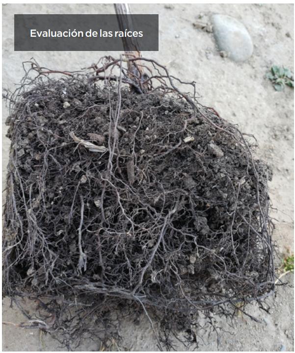 Evaluación de un sustrato mejorado para afrontar el ataque de larvas del burrito de la vid