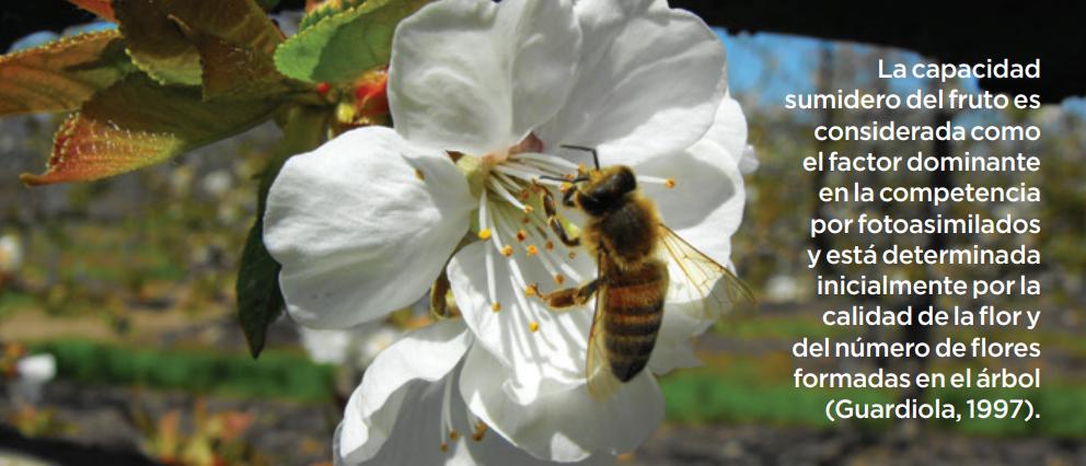 Aplicación de giberelinas ag3 en diversos parámetros de calidad en cerezas de exportación