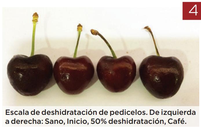 Puntos críticos en la cosecha de cerezas para maximizar su potencial de postcosecha
