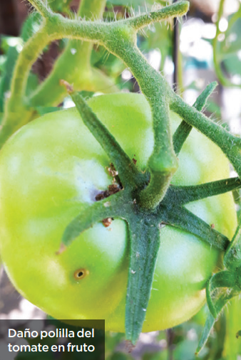 Manejo de plagas en tomates: avances utilizando herramientas libres de residuos