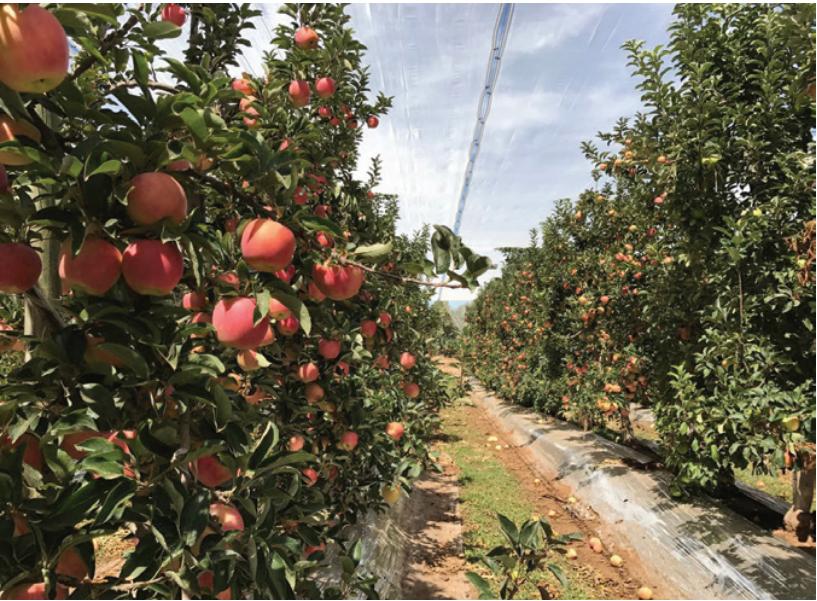 Malla fotoselectiva desarrollada por Delsantek mejora el rendimiento y calidad de la fruta