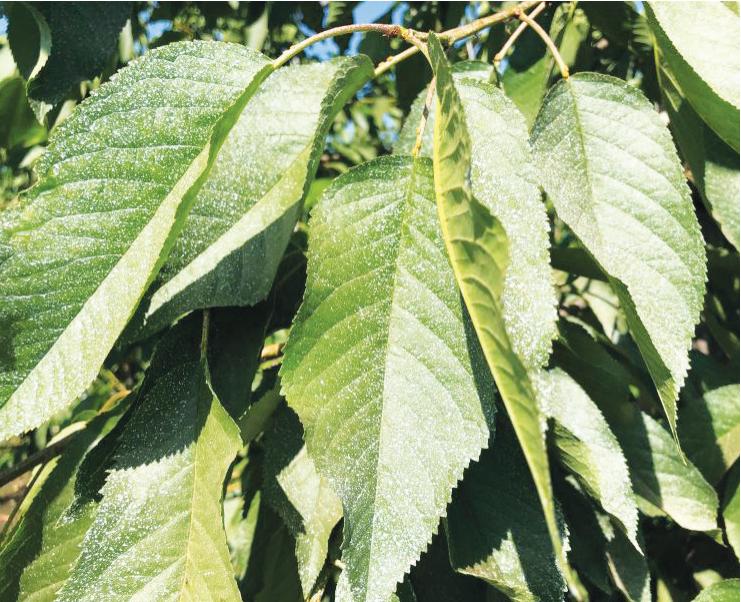 La importancia del periodo de poscosecha en cerezos como soporte del potencial productivo