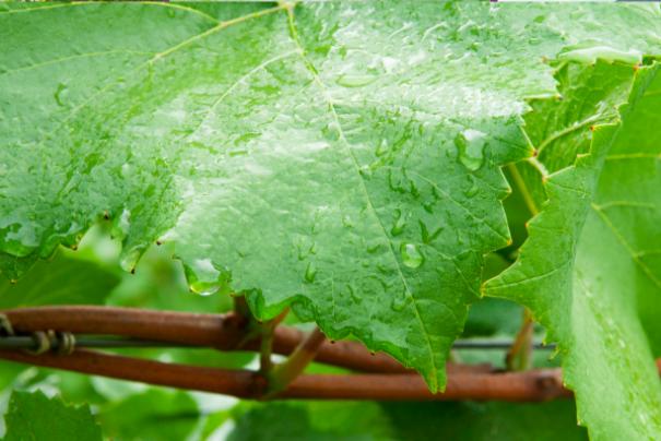 Guía: manejo de huertos de uva de mesa ante precipitaciones