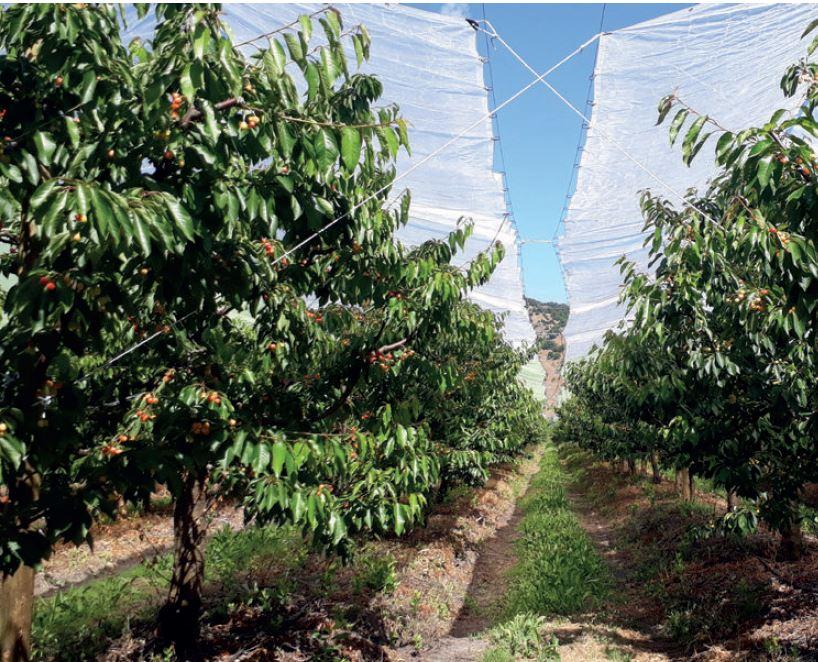 Uso de cobertores plásticos: impacto en la rentabilidad en un huerto de cerezas