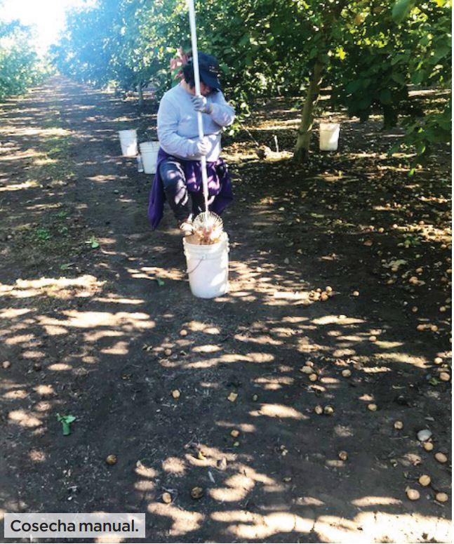 Aspectos a considerar al iniciar la cosecha de frutos de nuez