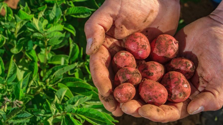 Potencian estrategias de mejoramiento genético y agronómico sostenibles en papas