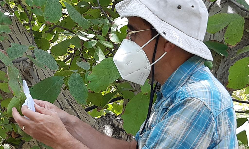 Liberación masiva del insecto benéfico Goniozus legneri en huerto orgánico de nogal