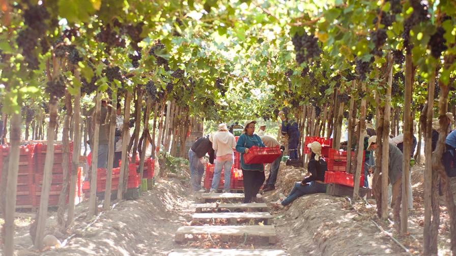 Puntos para mejorar la eficiencia de mano de obra en la producción de uva de mesa