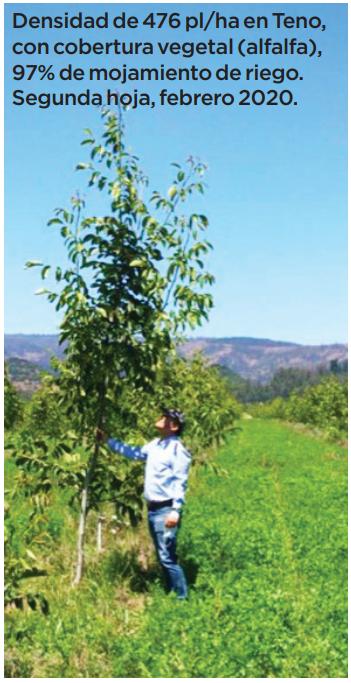 Aspectos a considerar en el cultivo de nogales en alta densidad: productividad y rentabilidad