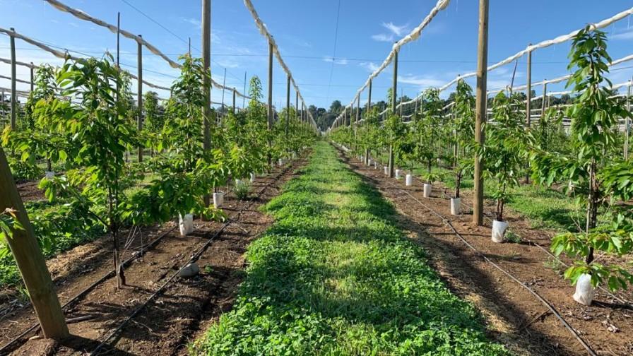 4 importantes decisiones para alcanzar el potencial productivo de un huerto de cerezos