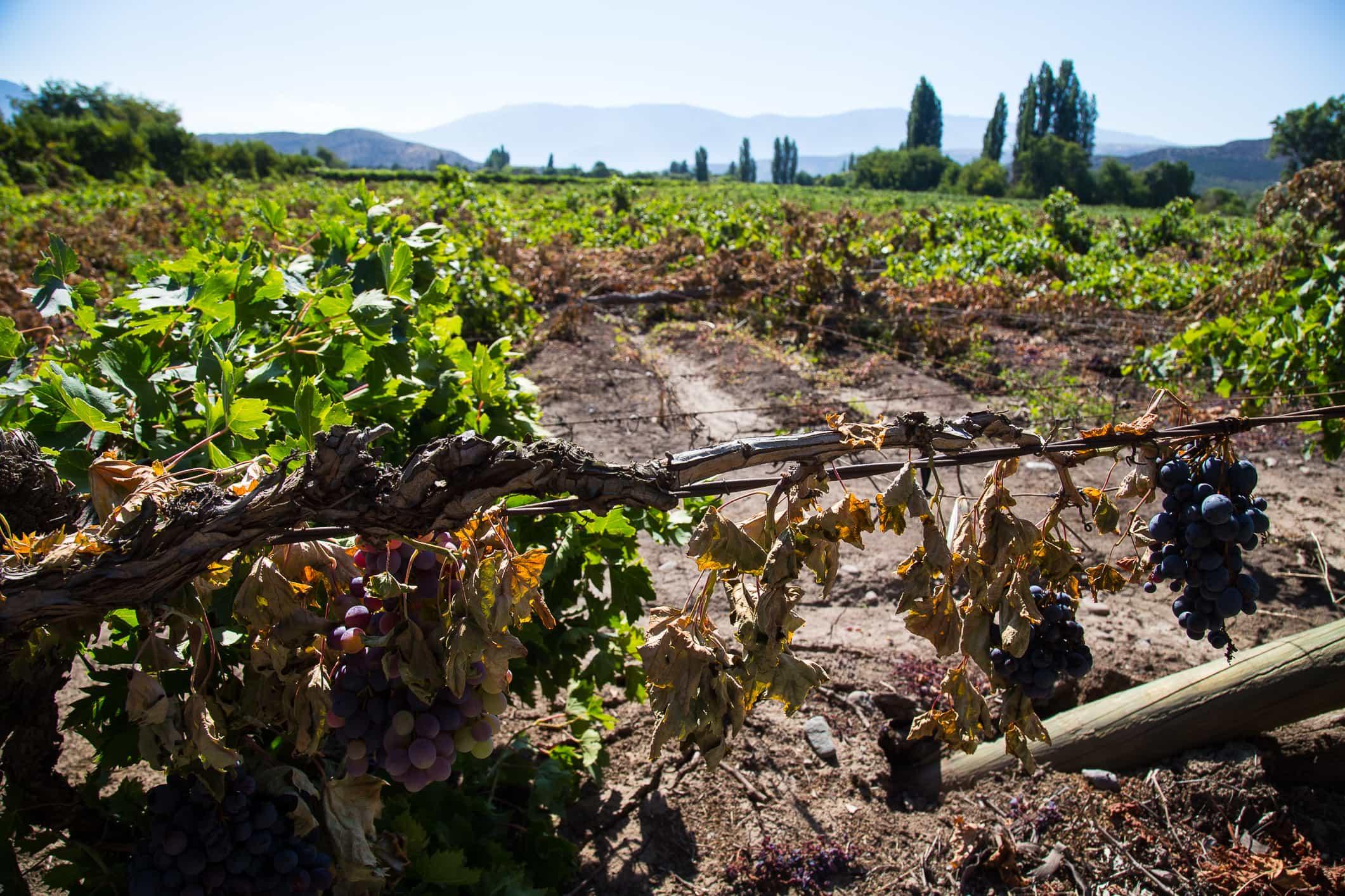 Análisis uva de mesa: Es el momento de una verdadera reingeniería