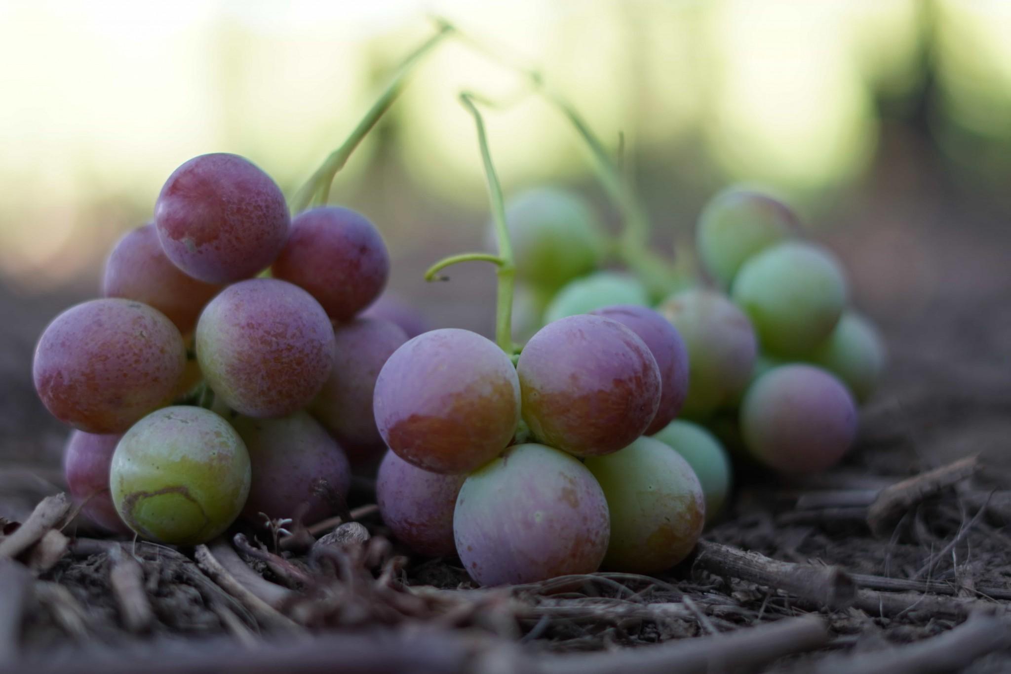 Reguladores de crecimiento: herramienta clave en la producción de uva de mesa