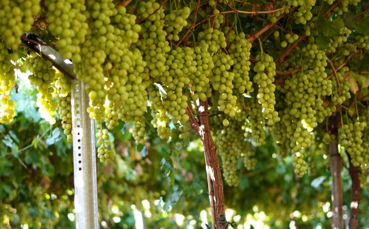 Revisión de labores culturales en nuevas variedades de uva de mesa