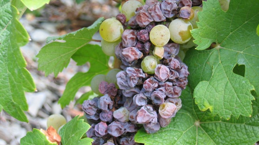 Técnica innovadora permite detección de hongo de la uva en menor tiempo