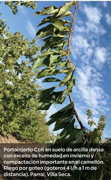 Consideraciones para el éxito técnico y económico de un huerto de cerezos