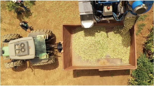 Nuevas variedades permiten producción de almendros en Ñuble y La Araucanía