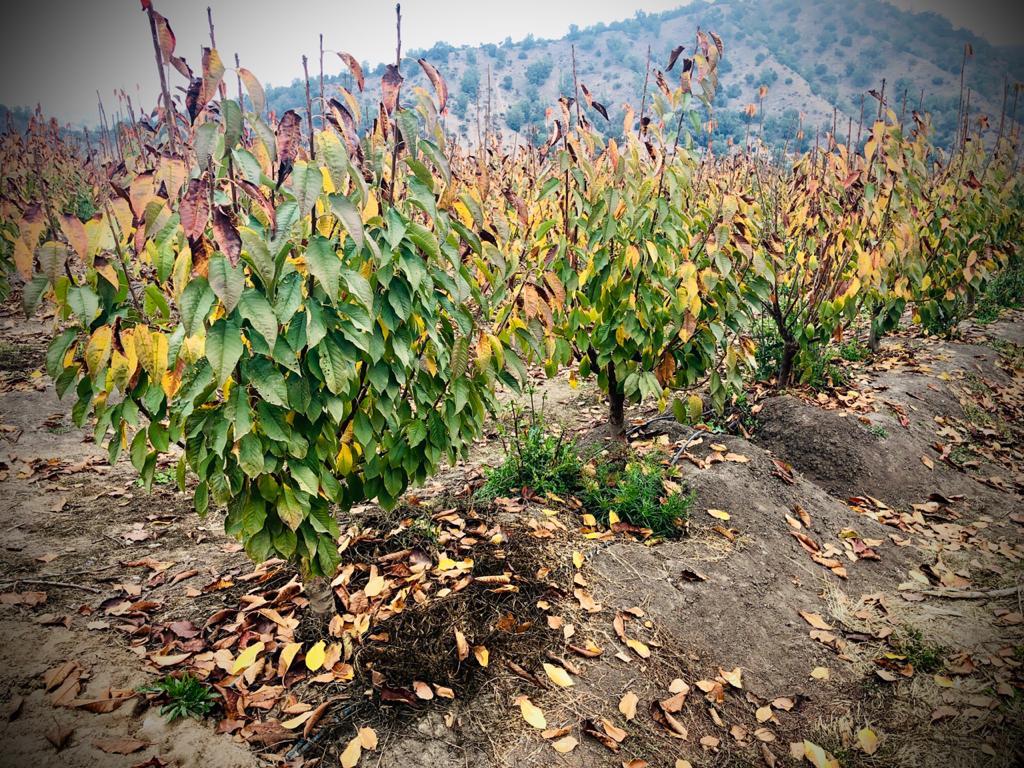 Manejos agronómicos que favorecen la entrada a receso invernal en huertos de cerezos