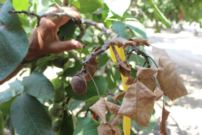 Análisis: visión en un huerto frutal en tiempos de cambio climático y sequía