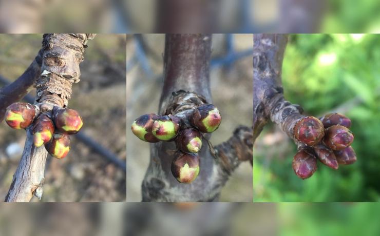 Análisis de fertilidad de yemas en cerezos: herramienta para regular carga y estimar potencial productivo