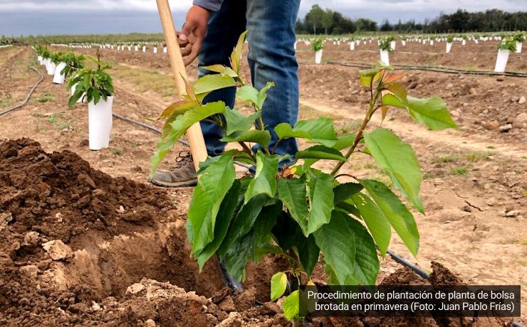 Cerezos: características de distintos formatos de plantas para proyectos de plantación