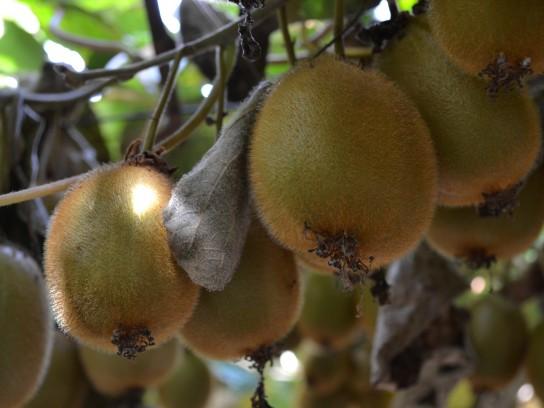 Agentes causales y condiciones predisponentes para la pudrición gris del kiwi