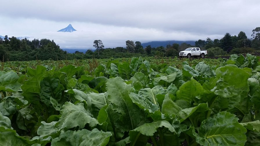 Remolacha azucarera: una alternativa sustentable al uso de granos de cereales