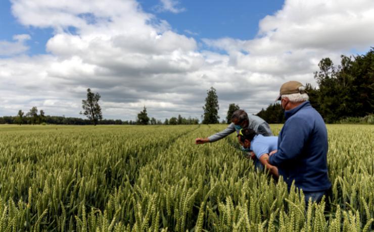 El trigo se consolida como una opción clave para el sur