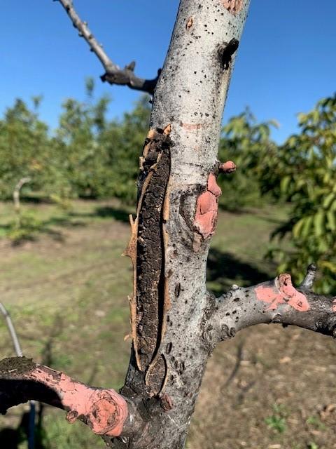 Enfermedades de la madera: un problema creciente en la fruticultura a nivel mundial