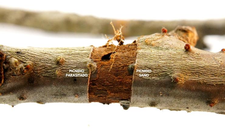 Hongos Trichoderma como herramienta de control biológico: características y pautas de aplicación