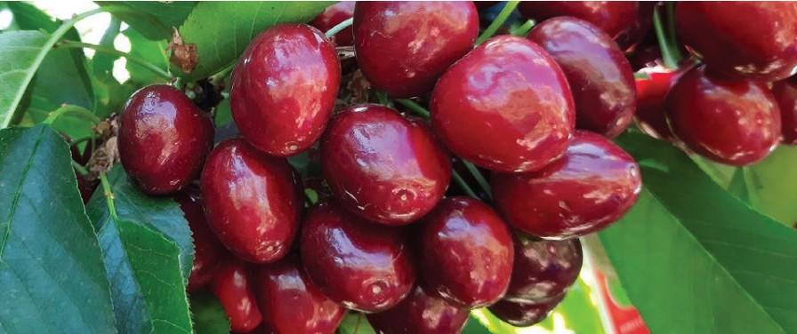 Efectos de Erger: bioestimulante en base a extractos vegetales