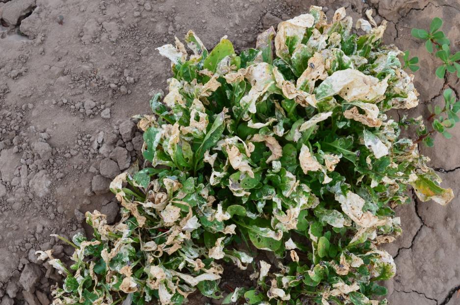INIA y FIA presentaron estrategia sustentable para controlar plaga que afecta hortalizas