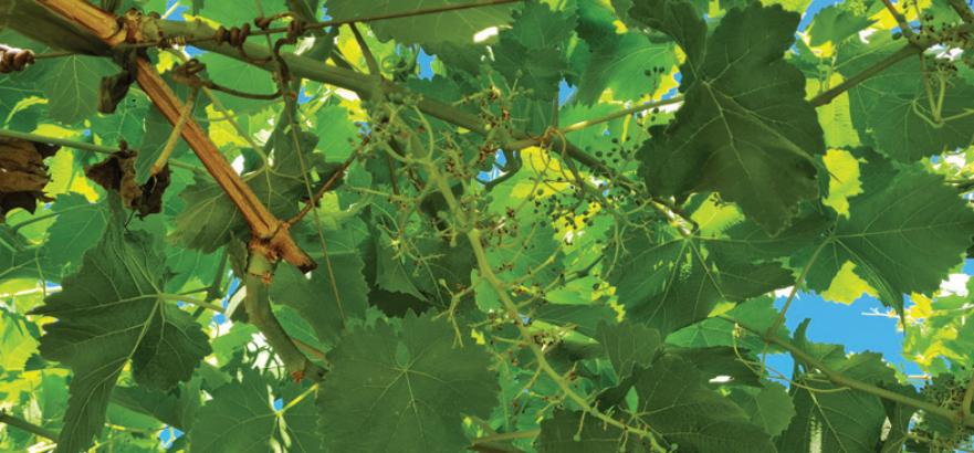 Rol de inoculantes de raíces en el fortalecimiento del cultivo de uva de mesa