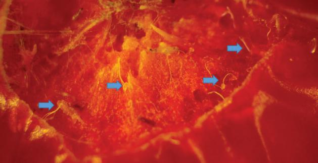 Drosophila suzukii: Una plaga que impacta la economía frutícola del sur