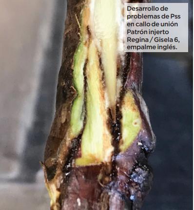 Detalles del establecimiento de huertos de cerezo, avellano y nogal en el sur de Chile