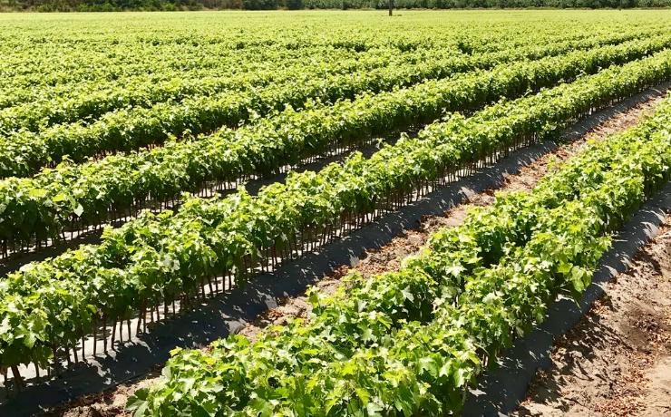 Sello de Calidad y Sustentabilidad de Plantas: características, beneficios e impacto en la fruticultura
