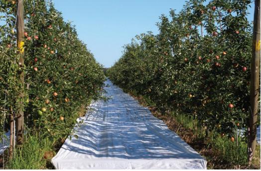 Estrategias para mejorar el color de las manzanas