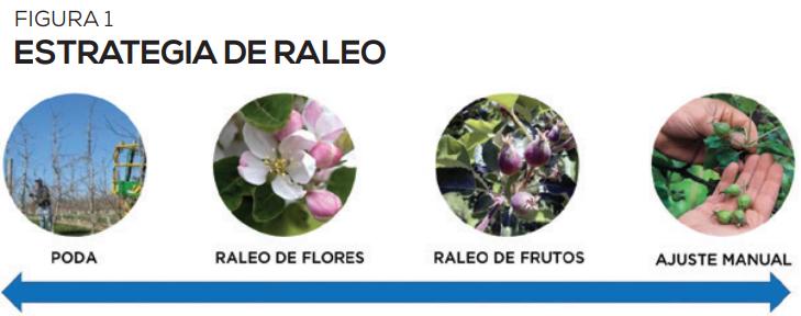 Raleo de manzanos para buena producción de calidad con mano de obra escasa