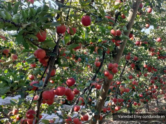 Poda de manzanos: adaptar las variedades a sistemas de conducción modernos
