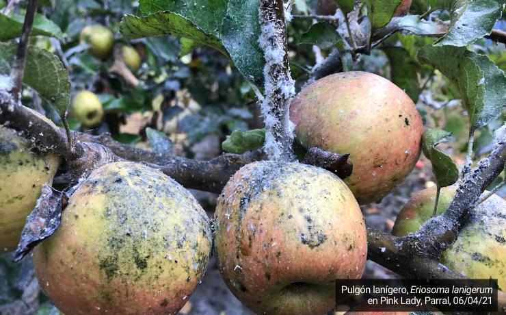 Plagas cuarentenarias en manzanos: influencia del clima y cuentas pendientes en su manejo