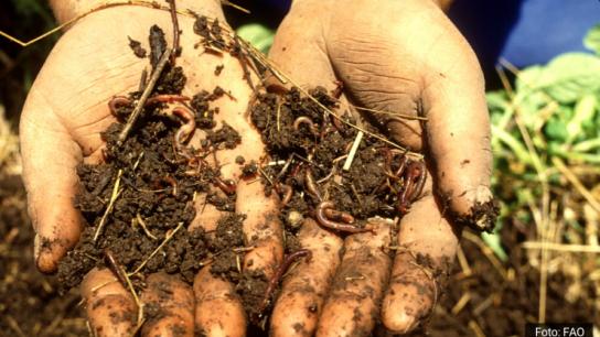 Uso de materia orgánica para enfrentar los desafíos del mercado del cerezo