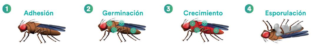 NOFLY WP: primer bioinsecticida formulado con hongos entomopatógenos registrado en Chile