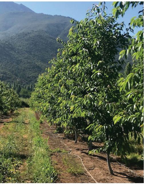 Virus PNRSV y PPV: dos viejos conocidos que ponen en jaque a las cerezas en Chile