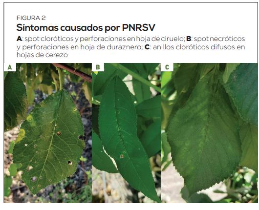 Virus del anillado necrótico de los prunus: características y estrategias de control