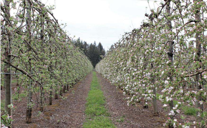 Factores y manejos que influyen en la floración, polinización y cuaja en manzanos