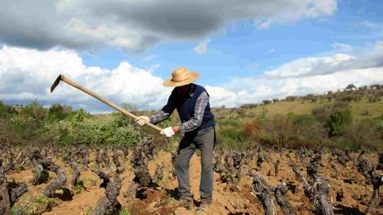 Vigno celebra 10 años rescatando cepa Carignan y recibe reconocimiento mundial