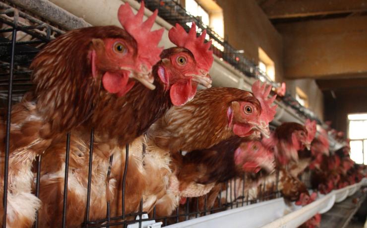 Consumo de huevo en Chile se dispara y supera al que registran países europeos